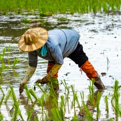 farmer bending down to plant rice paddy stood in water